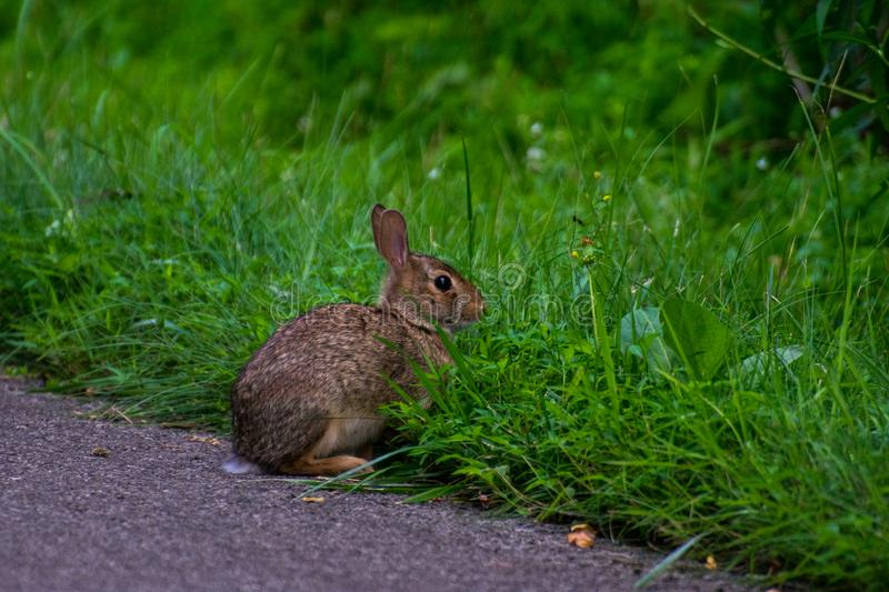 A wild and very cute rabbit stock photo