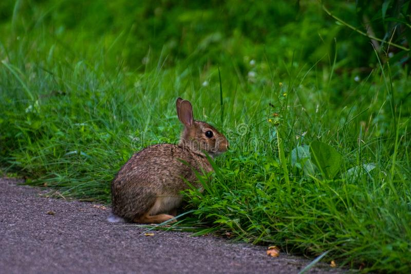 A wild and very cute rabbit royalty free stock images