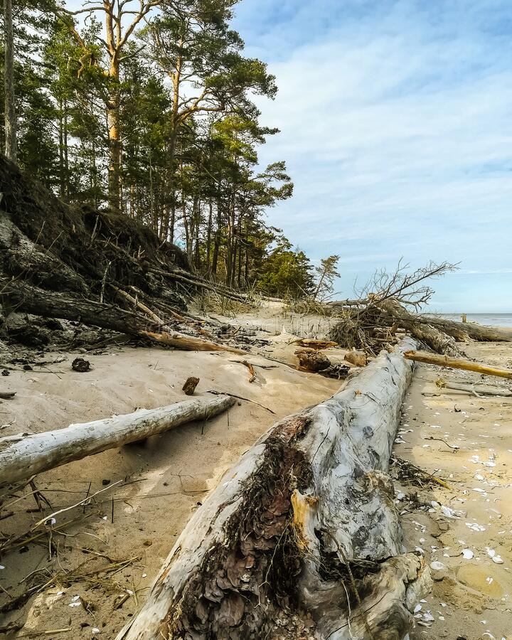 Wild view of calm cloudy summer afternoon in Kolka cape near Baltic sea with fallen tree trunks and seashells close-up. Next to a forest stock photo