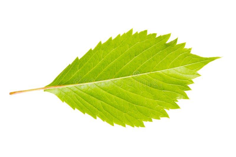 Wild Vine Leaf Stock Photography