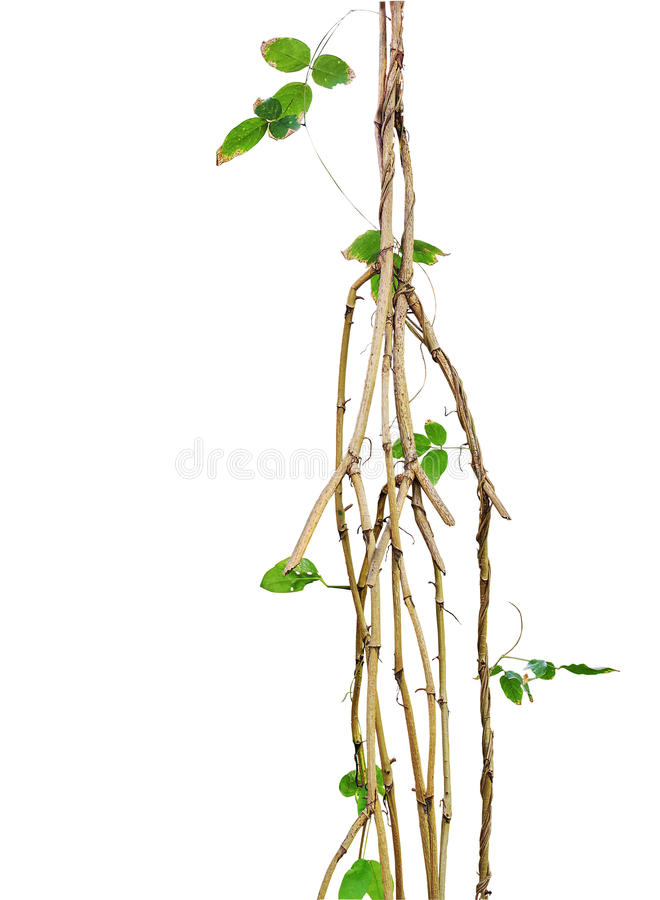 Wild vines, jungle vines with small green leaf vines twisted around isolated on white background, clipping path included royalty free stock images