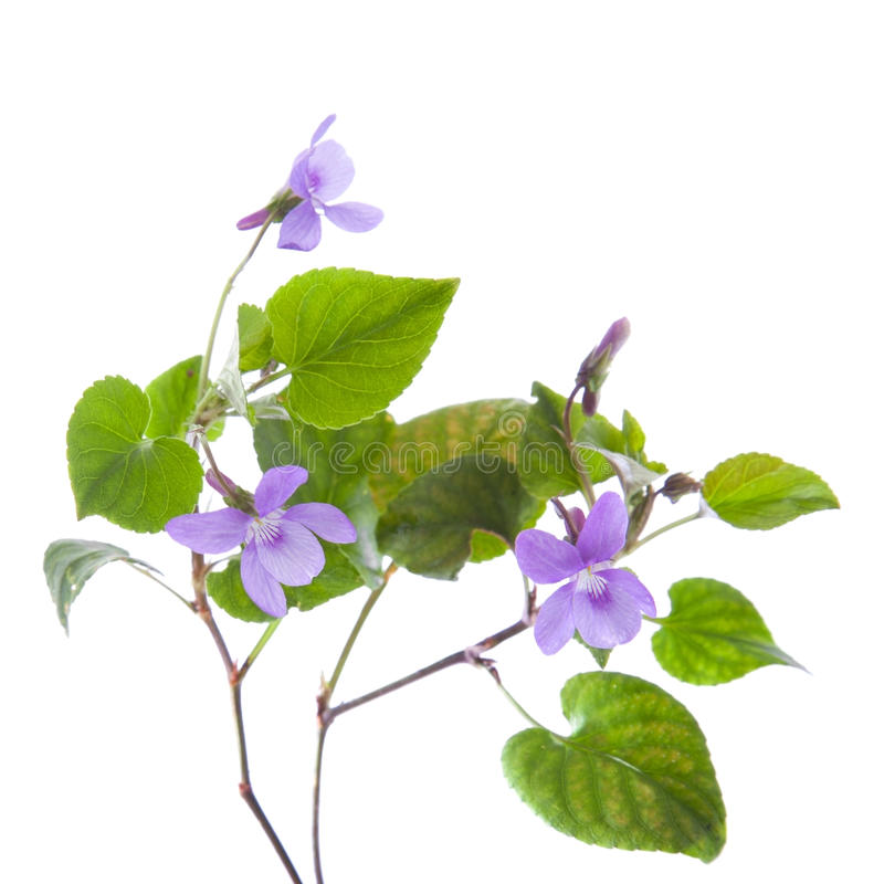 Wild violet stock photography
