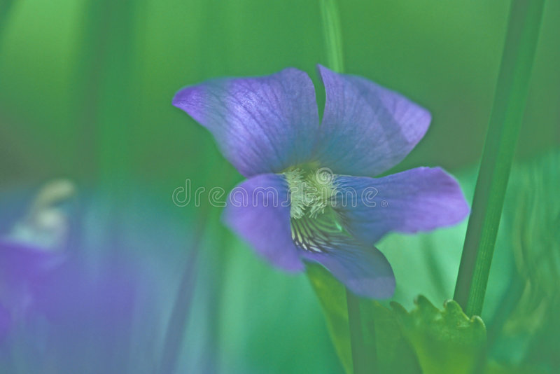 Download Wild Violet Royalty Free Stock Photo - Image: 38835