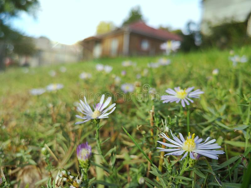 Wild violet daisy flowers field. House in the background, sunny day royalty free stock image