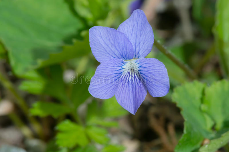 Common Blue Violet - Viola sororia. Close up of a Common Blue Violet flower. Also known as The Lesbian Flower as well as Hooded, Meadow, Purple, Wood, and Wooly stock photos