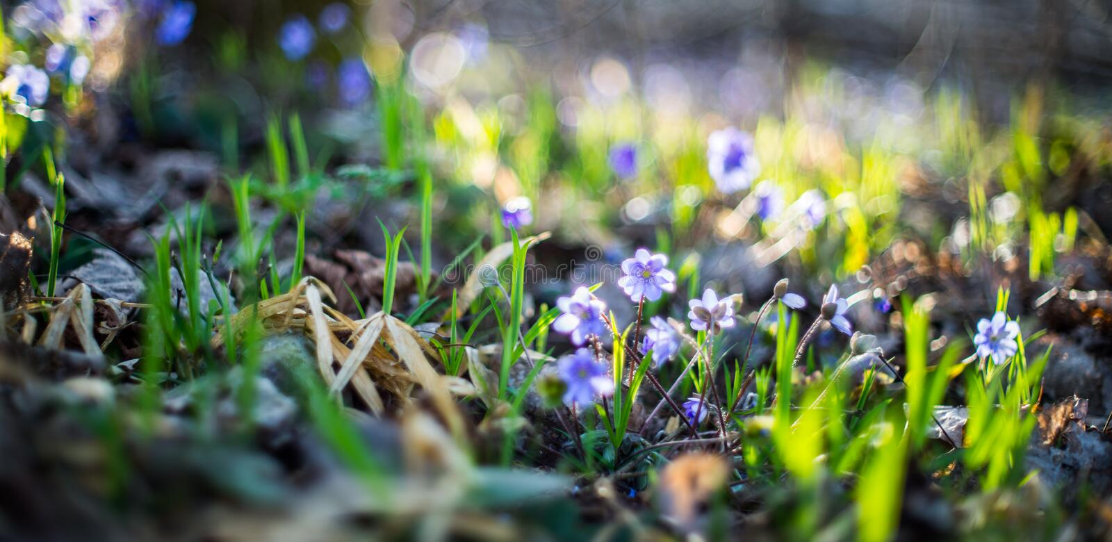 Wild violets in forest royalty free stock photography