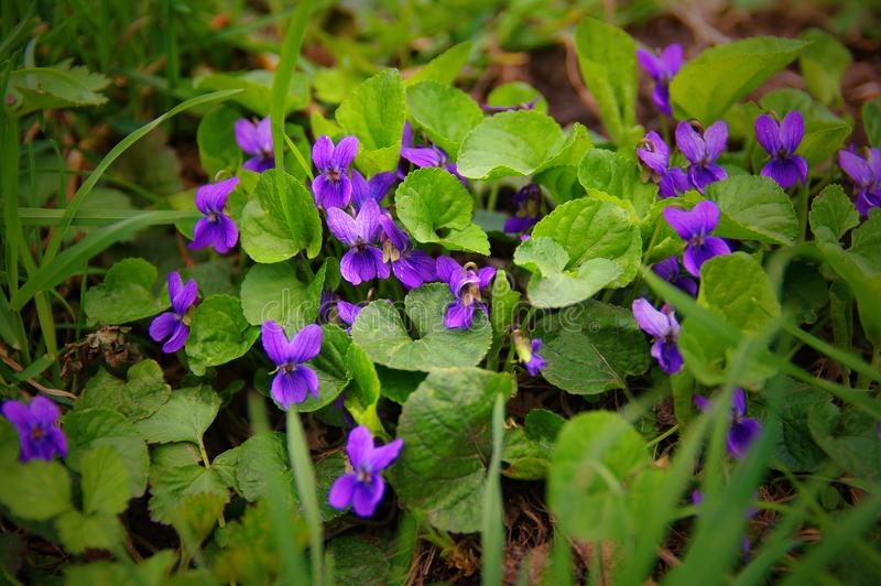 Wild violets in the spring forest stock photography