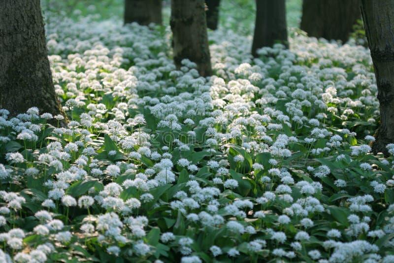 wild vitlök fotografering för bildbyråer