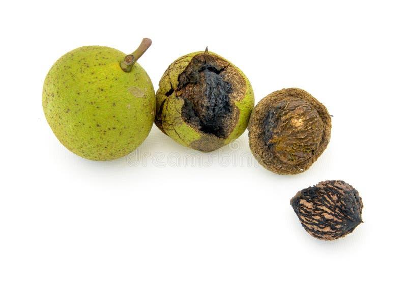 wild voedsel Zwarte okkernoten in geïsoleerde schil en shell royalty-vrije stock afbeeldingen