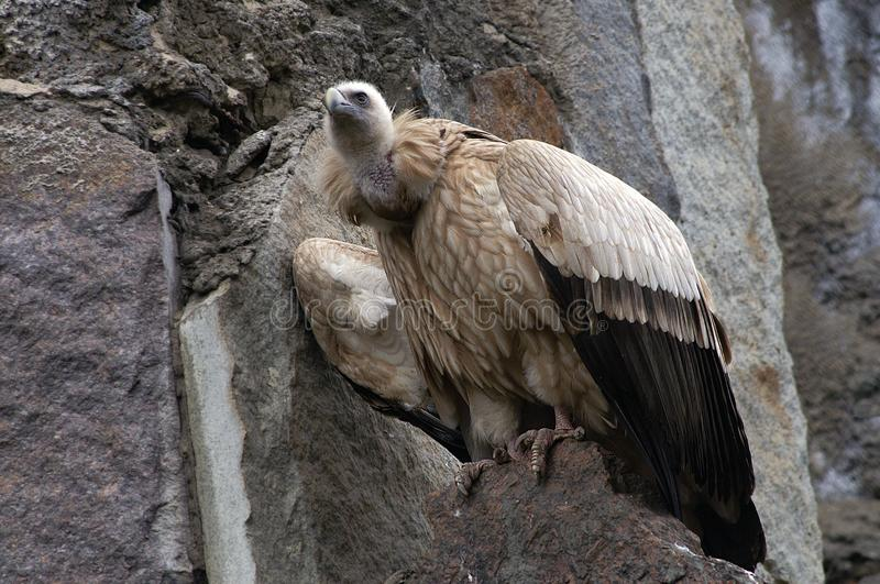 Wild Vulture in mountains stock photo