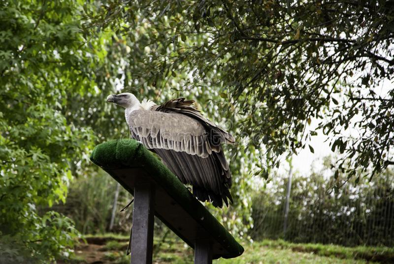 Wild vultures. In nature reserve, mammals and hunters, predatory, wilderness, death, falcon, raptors, spain, protection, europe, wings, eurasian, fly stock photo