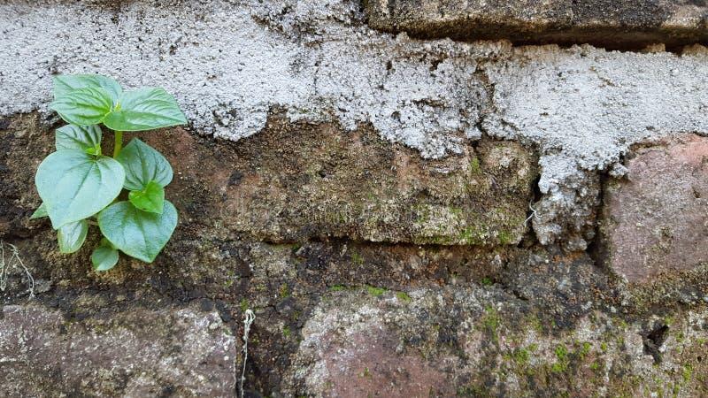 Wild wachsende Pflanzen befestigt zu den Backsteinmauern, passend für Gebrauch als Hintergründe lizenzfreies stockbild