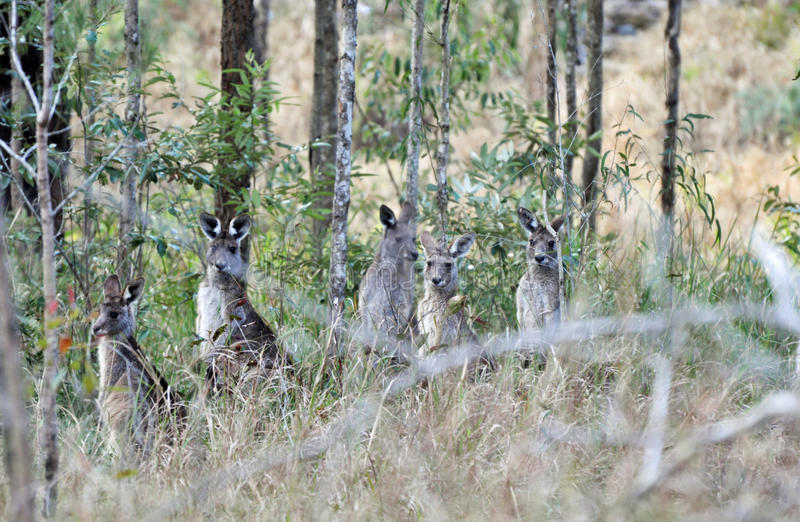 Wild wallabies standing in the bush land of Australia. While taking a walk through the scenic bush land of Queensland, Australia we came across this pack of wild stock images