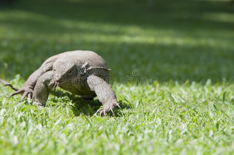 Download Wild Waranus In Chase Of A Prey Stock Photo - Image: 23010582