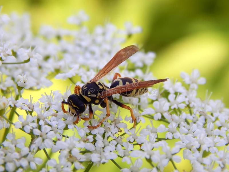 Wild wasp on white meadow flowers stock photo image of closeup download wild wasp on white meadow flowers stock photo image of closeup flower mightylinksfo