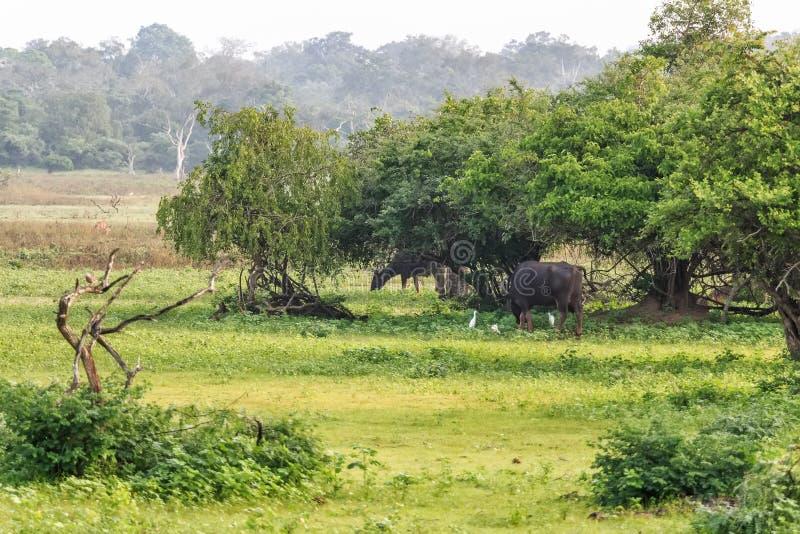 Wild Water Buffalo in Sri Lanka. Asian Water Buffalo in Yala West National Park in Sri Lanka stock images