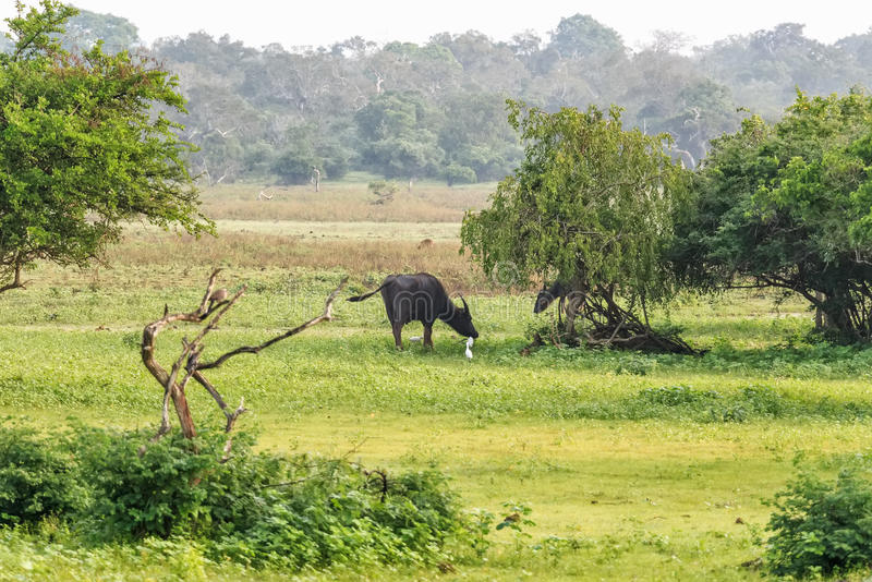 Wild Water Buffalo in Sri Lanka. Asian Water Buffalo in Yala West National Park in Sri Lanka royalty free stock images