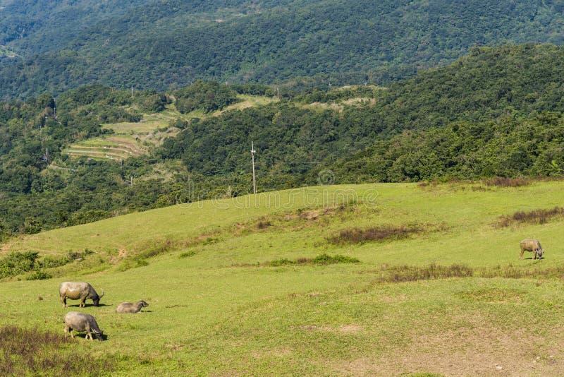 Wild water buffaloes grazing on the mountainous terrain royalty free stock photos