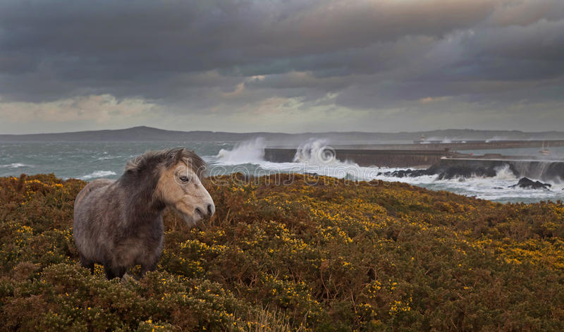 Wild Welsh Ponies Royalty Free Stock Photos