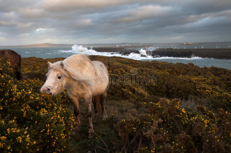 Wild Welsh Ponies Royalty Free Stock Images