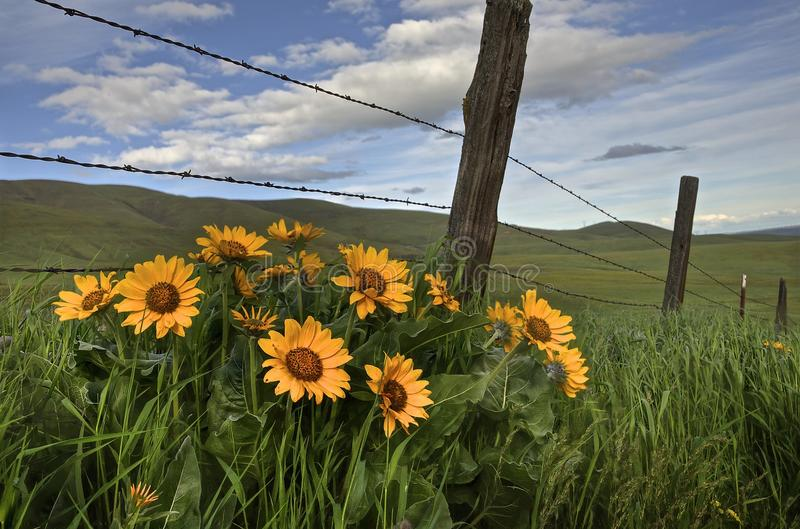 Wild West Flowers. These wild flowers are in the Columbia Hills State Park in South Central Washington stock photo