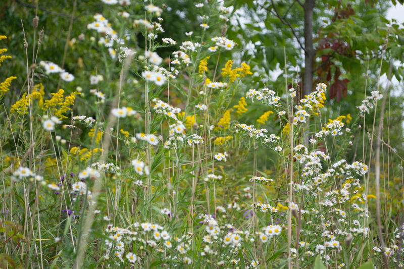 Wild White Aster Flowers and Goldenrods stock images