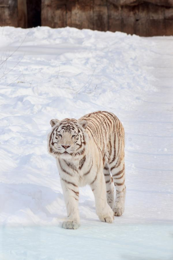 Wild white bengal tiger is looking into the camera. Animals in wildlife. Panthera tigris tigris royalty free stock image