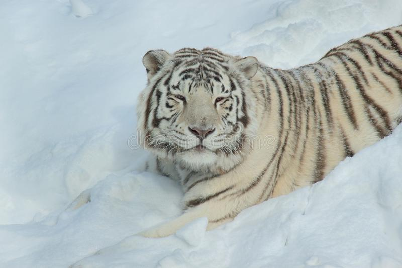Wild white bengal tiger is lying on white snow. Animals in wildlife. Close up royalty free stock photography