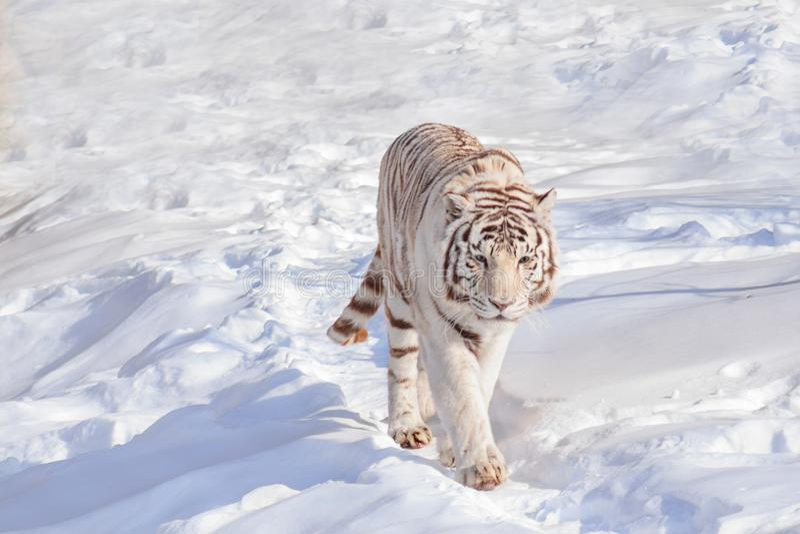 Wild white bengal tiger on a morning walk. Animals in wildlife. Winter morning royalty free stock photos