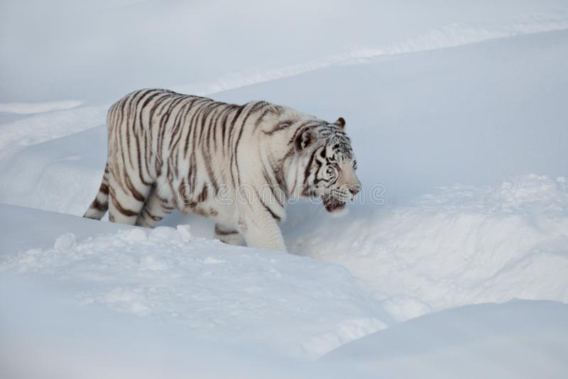 Wild white bengal tiger on a morning walk. Panthera tigris tigris stock photo