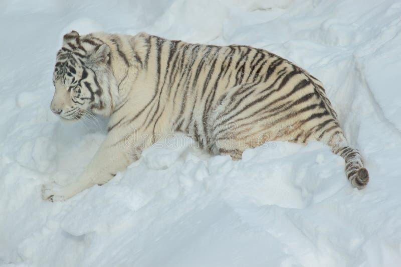 Wild white bengal tiger is playing on white snow. Animals in wildlife. Panthera tigris tigris stock images