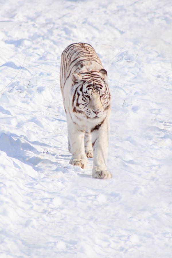 Wild white bengal tiger is walking on white snow. Animals in wildlife. Winter morning royalty free stock photo