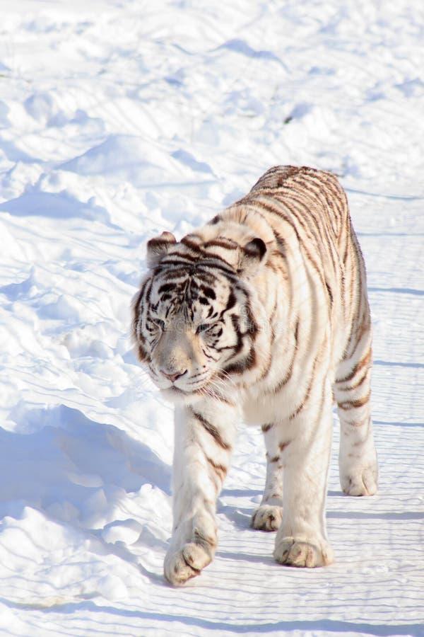 Wild white bengal tiger is walking on white snow. Animals in wildlife. Winter morning stock photos