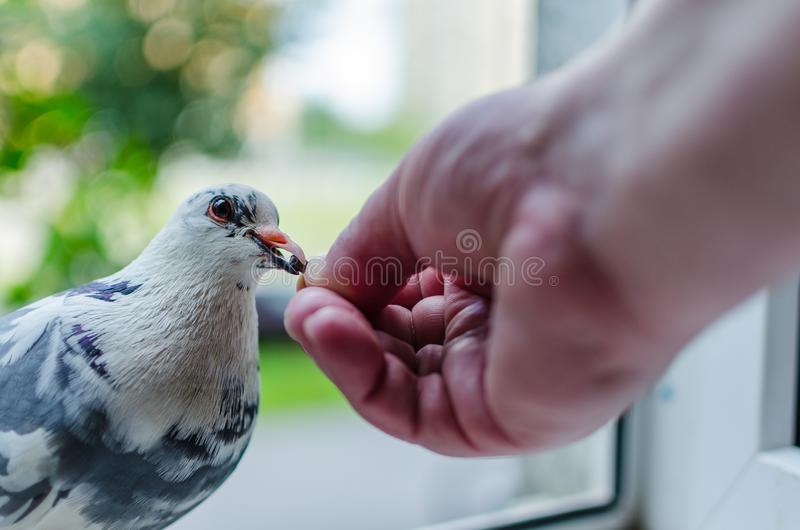 A wild white dove sits on the window and eats from the hands of man. Photo close up. The concept of trust, friendship and help stock photos
