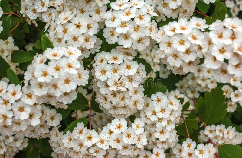 Wild white flower bushes stock photo image of blossom 76549614 download wild white flower bushes stock photo image of blossom 76549614 mightylinksfo