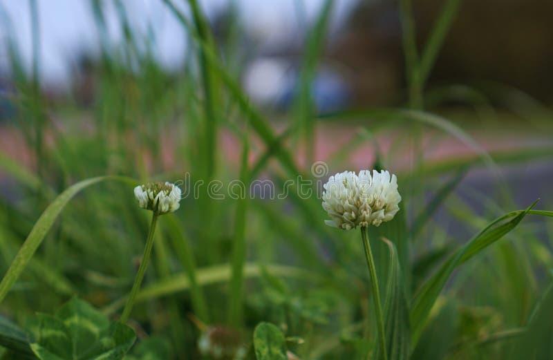 Wild white flowers royalty free stock photo