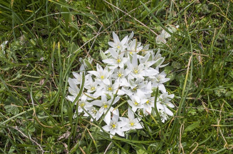 Wild white flowers of Ornithogalum umbellatum on meadow royalty free stock photo