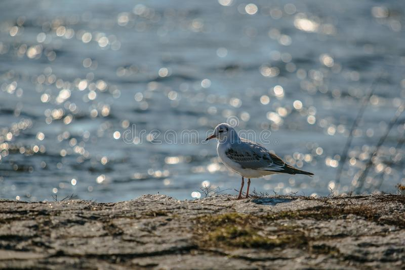 Wild white and grey colored black headed gull. Standing on a stone riverbank, blue river with reflection of sunlight making a bokeh in background stock image