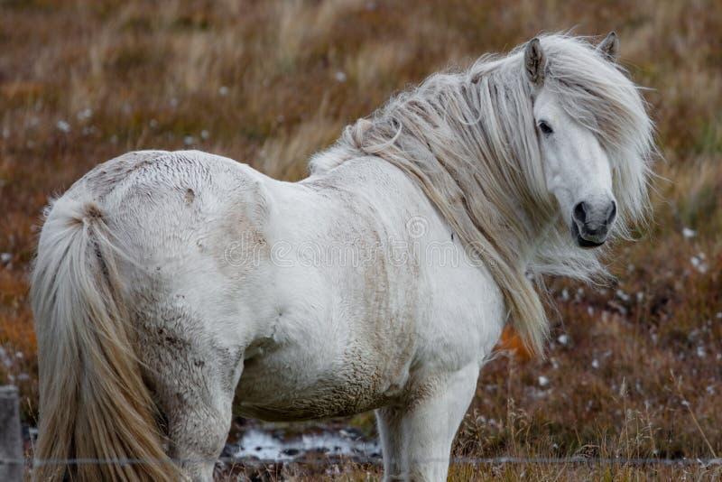 Wild white horse royalty free stock image