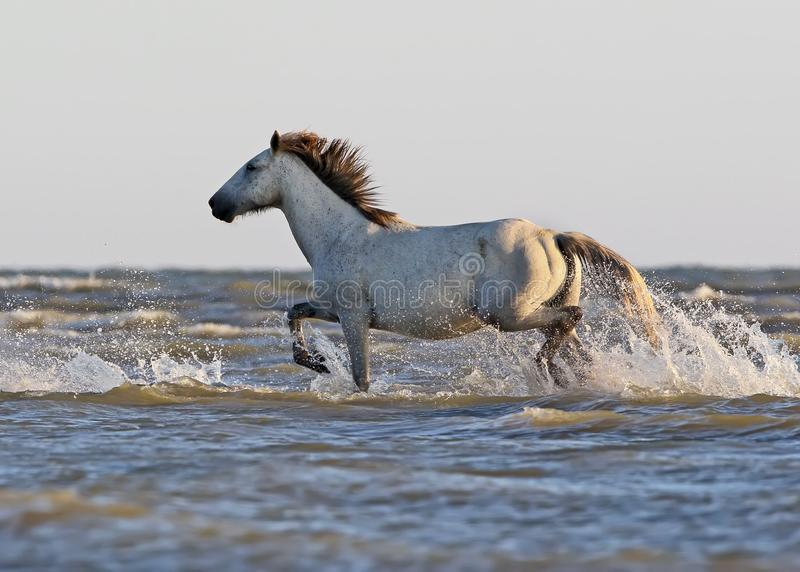 A wild white horse stands on a sand bank stock images