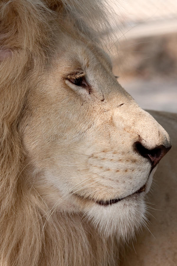 Wild white lion. Wonderful white lion in captivity, resting in the afternoon sun at spring stock photography