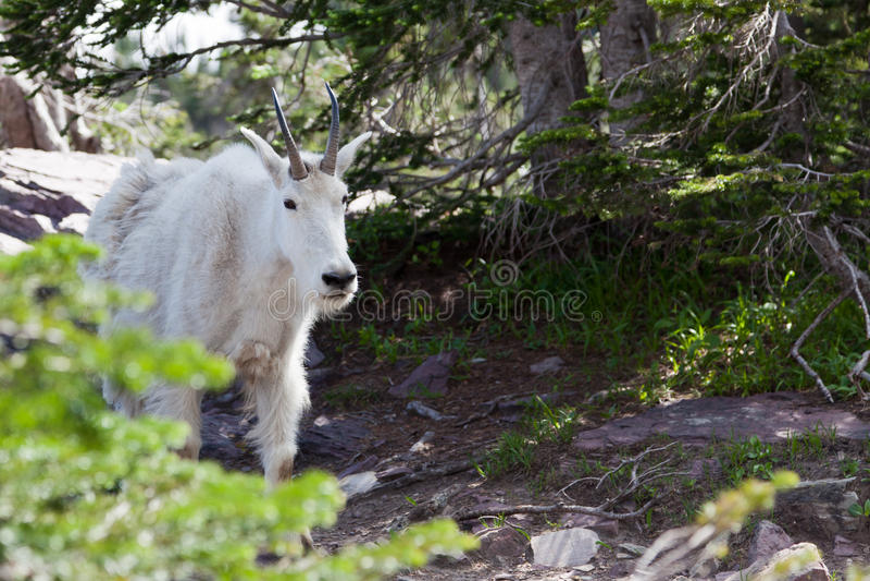 Curious Mountain Goat stock photo