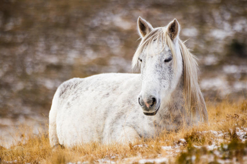 Wild white mustang horse, resting in a snowy field stock photos
