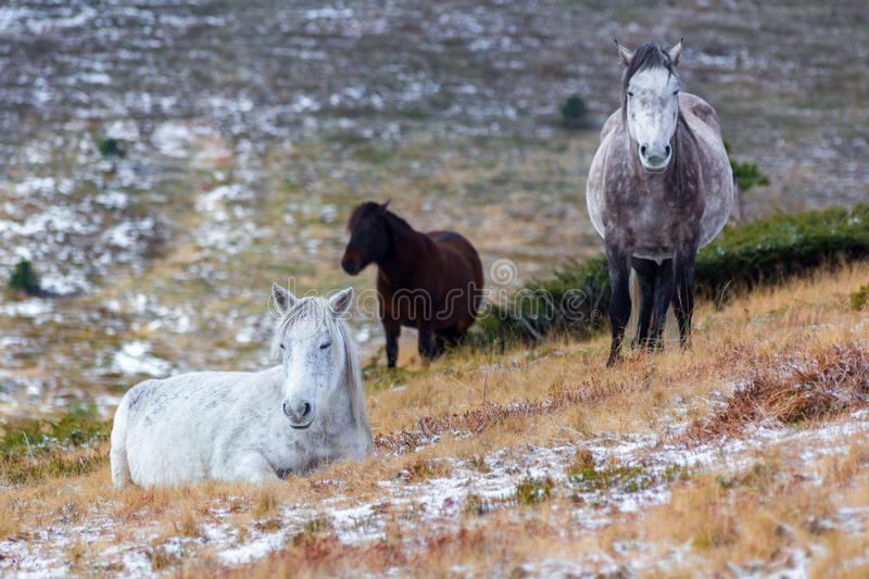 wild white mustang horse, resting in a snowy field stock photo