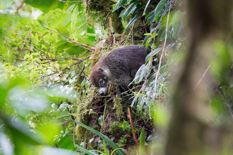 Wild white-nosed coati in rainforest royalty free stock photos