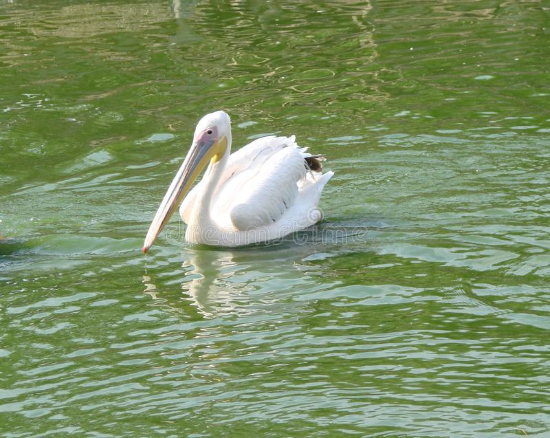 Seaside town of Berdyansk Zaporozhye region. Exotic birds and animals of the local zoo rest peacefully in the eyes of viewers duri. Wild white pelican looking royalty free stock photography