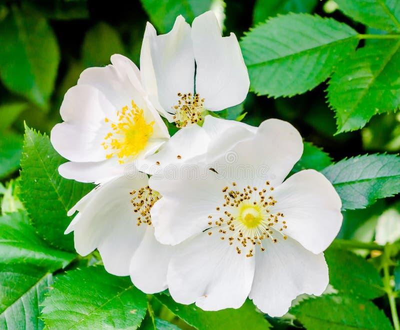 Wild white rose flowers, green bush stock images
