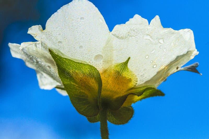 Wild white rose. Wild flower in a park in Jijel, Algeria royalty free stock photo