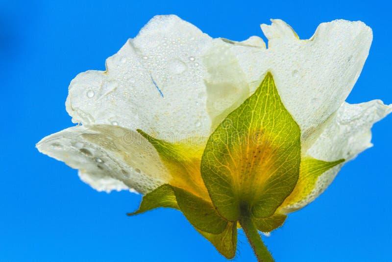 Wild white rose. Wild flower in a park in Jijel, Algeria royalty free stock images