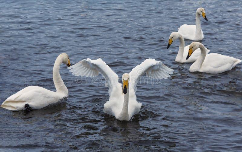Wild whooper swans on lake Svetloye in the Altai territory in winter. Russia royalty free stock photo